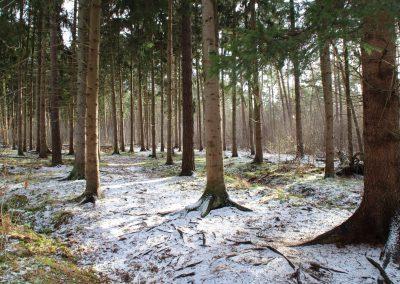 Fichtenforst im Winter