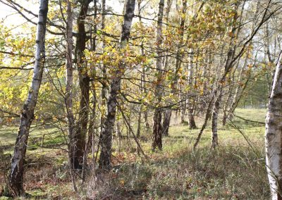 Birken am Rundweg Hiltruper See