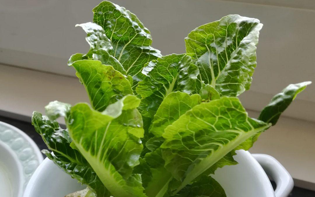 Regrowing – Gemüsereste nachwachsen lassen