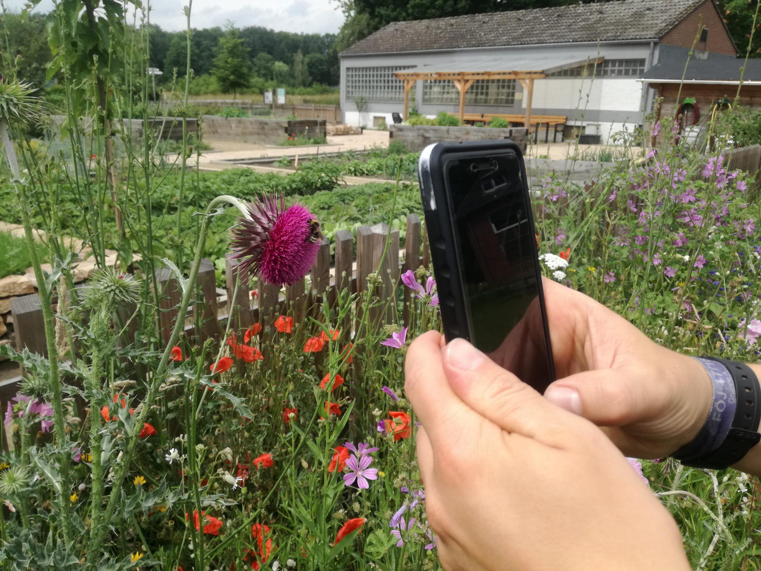 Mit dem Smartphone wird eine Hummel auf einer Blüte fotografiert