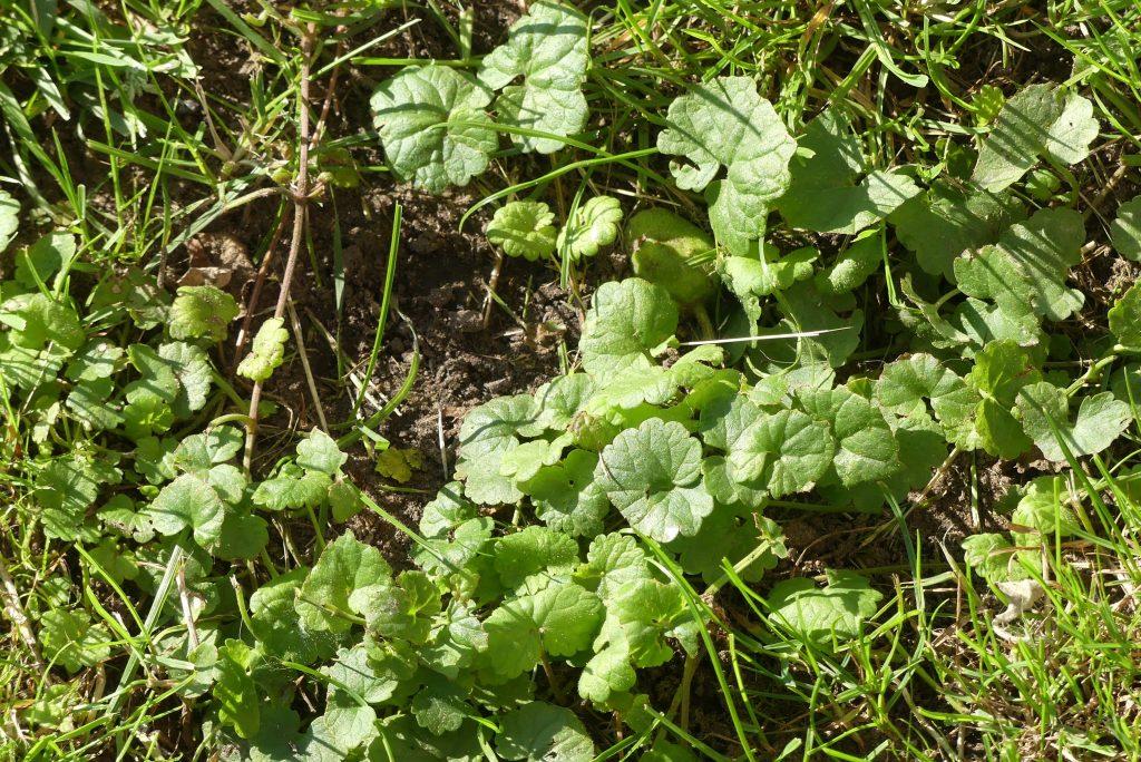 Gundermann-Pflanzen im Garten
