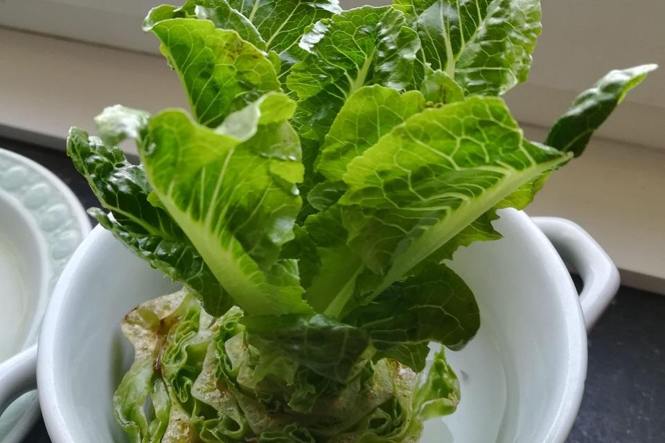 Nachgewachsener Salat in einer Wasserschale