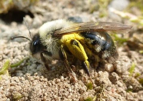 Eine Wildbiene auf dem Boden