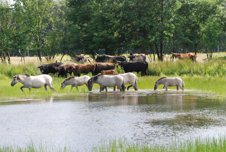 Heckrinder und Konikpferde an einer Wasserstelle