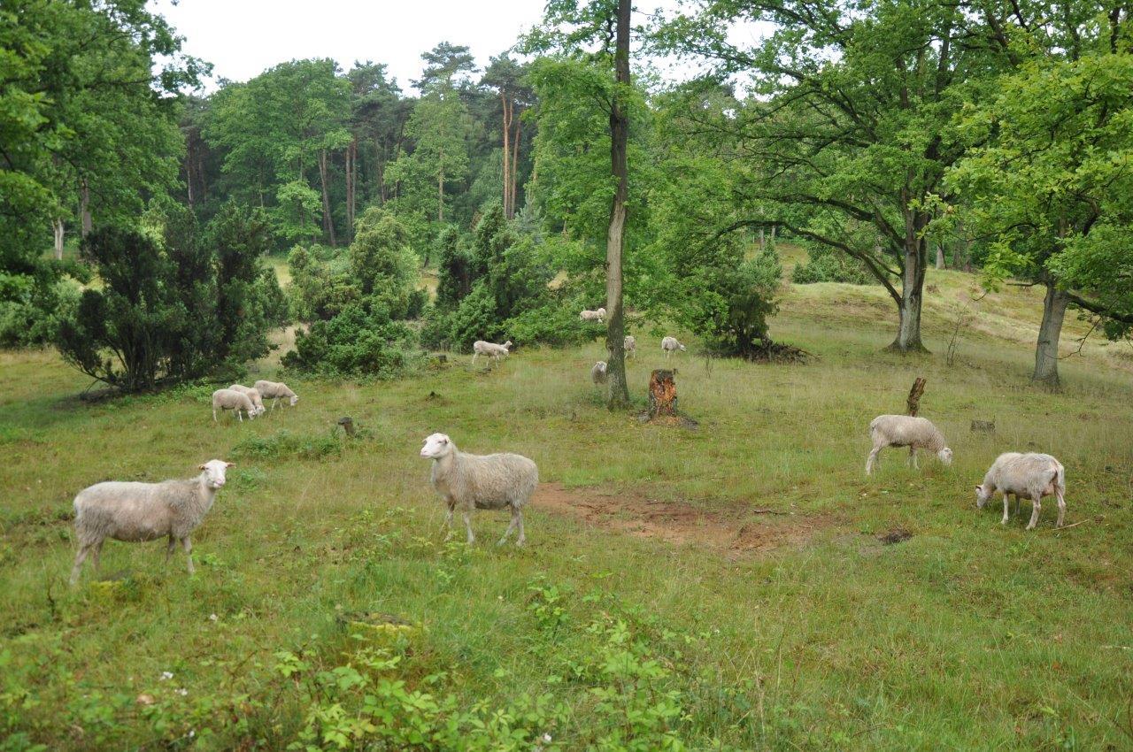 Kleine Schafherde steht zwischen Bäumen auf einer grünen Heide